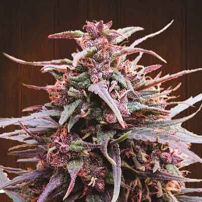 Purple Haze x Malawi  - Ace Seeds