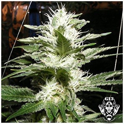 RAW DIESEL - 5 seeds - Feminized - G13 Labs