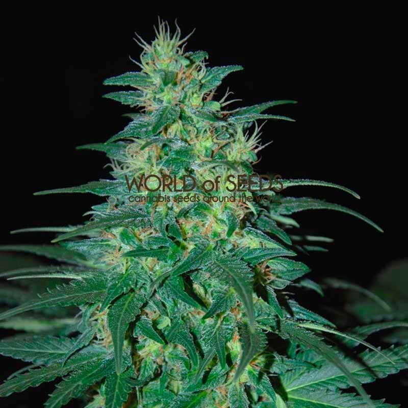 South African Kwazulu Regular - 10 Graines - PURE ORIGIN GRAINES NORMAL - WORLDOFSEEDS