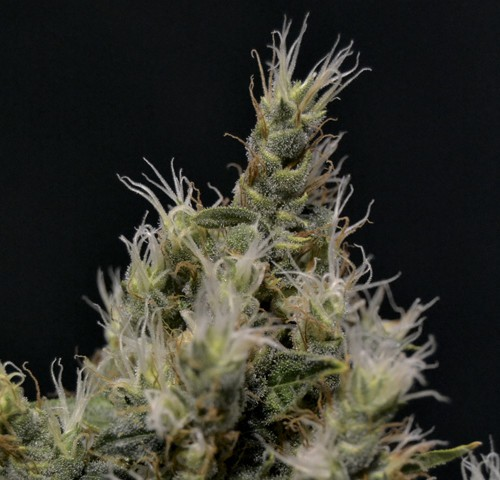 Vanilla Haze - Medical - CBD SEEDS