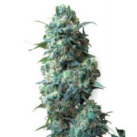 Purchase AFGHANI #1 REGULAR (SENSI SEEDS)