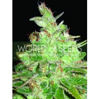 Purchase Afghan Kush x Black Domina