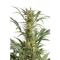 Purchase AMNESIA XXL AUTO