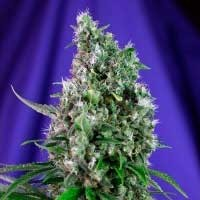 Purchase SWEET TRAINWRECK AUTO