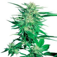 Purchase BIG BUD (SENSI SEEDS)