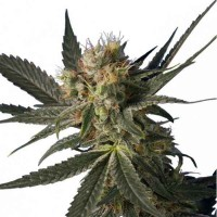 Purchase BLUE MONSTER 10 UND. FEM (HERO SEEDS)