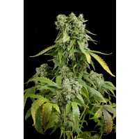 Purchase BLUE CHEESE AUTO