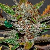 Purchase Bubba Haze Regular - 10 seeds