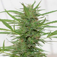 Purchase DR. GREENTHUMB'S DEDOVERDE HAZE AUTO