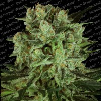 Purchase Durga Mata II CBD