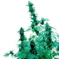 Purchase EARLY SKUNK (SENSI SEEDS)