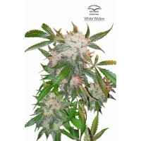 Purchase WHITE WIDOW REG