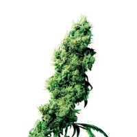 Purchase FOUR-WAY REGULAR (SENSI SEEDS)