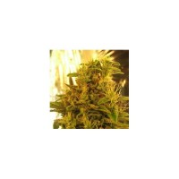 Purchase HAZE 1 FEM 5 SEEDS