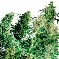 Purchase INDOOR MIX (SENSI SEEDS)