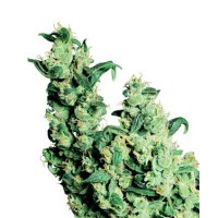Purchase JACK HERER REGULAR (SENSI SEEDS)