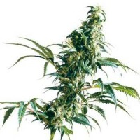 Purchase MEXICAN SATIVA REGULAR (SENSI SEEDS)