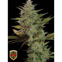 Purchase MR. CANDY - 5 UNDS FEM - ALL IN MEDICINAL