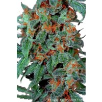 Purchase ORANGE BUD REG