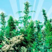 Purchase OUTDOOR MIX (SENSI SEEDS)