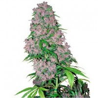 Purchase Purple Bud Fem