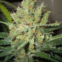 Purchase PURE POWER PLANT FEM 5 SEEDS