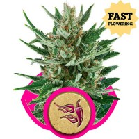 Purchase Speedy Chile (Fast Flowering)
