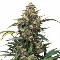 Purchase Strawberry Cough