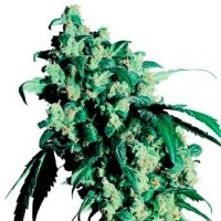 Purchase SUPER SKUNK (SENSI SEEDS)