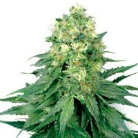 Purchase WHITE WIDOW FEM (WHITE LABEL)