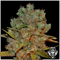Purchase WHITE CRITICAL - 5 seeds