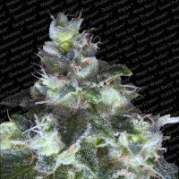 Purchase ORIGINAL WHITE WIDOW (IBL)