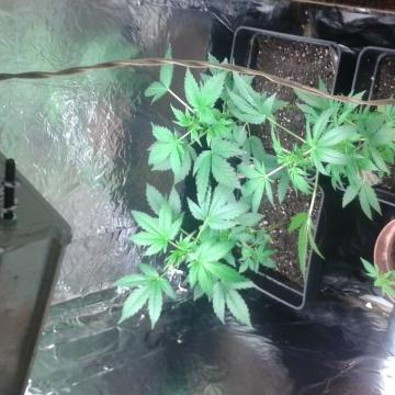 SUGAR BLACK ROSE AUTO