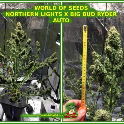 NORTHERN LIGHT X BIG BUD RYDER